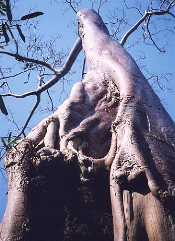 A massive banyan tree straddles the inner enclosure wall at Banteay Thom.