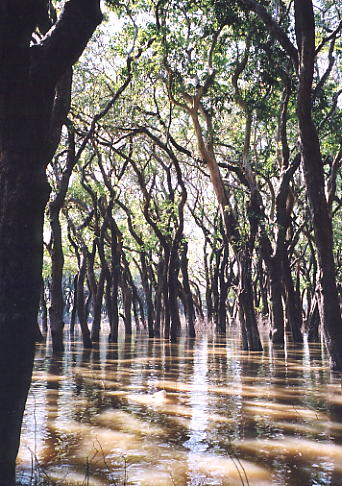 The peaceful flooded mangrove forest near Kompong Phluk.